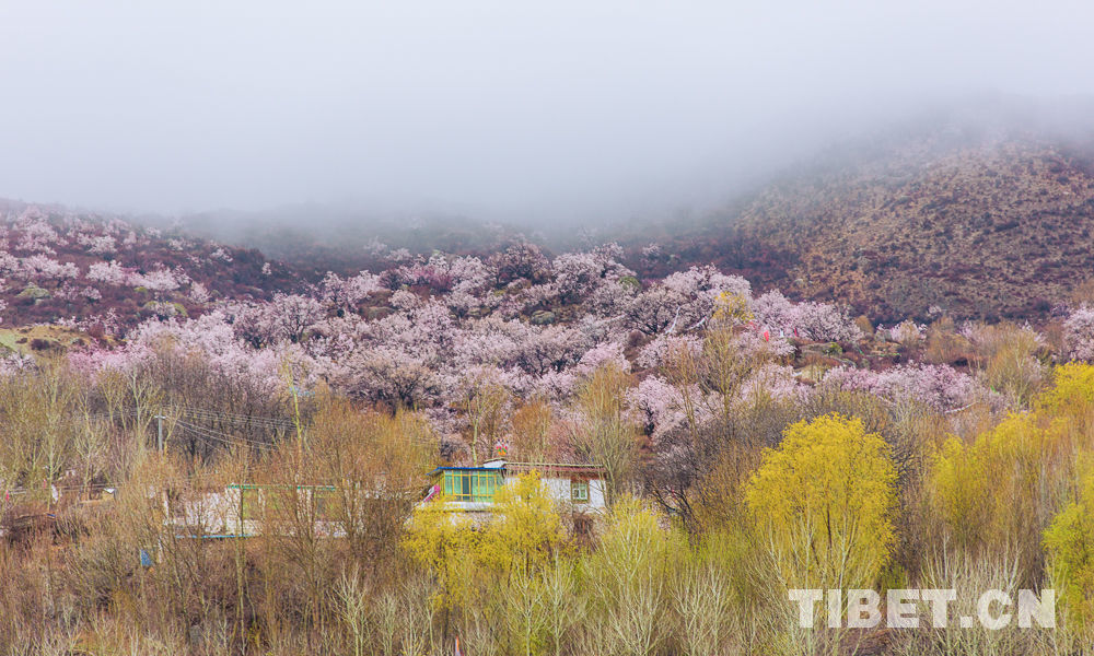 Scenery of peach blossom in Shannan, Tibet