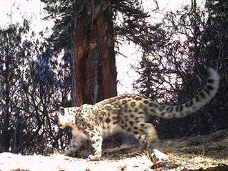 西藏藏东今年首季度捕捉56次雪豹活动影像