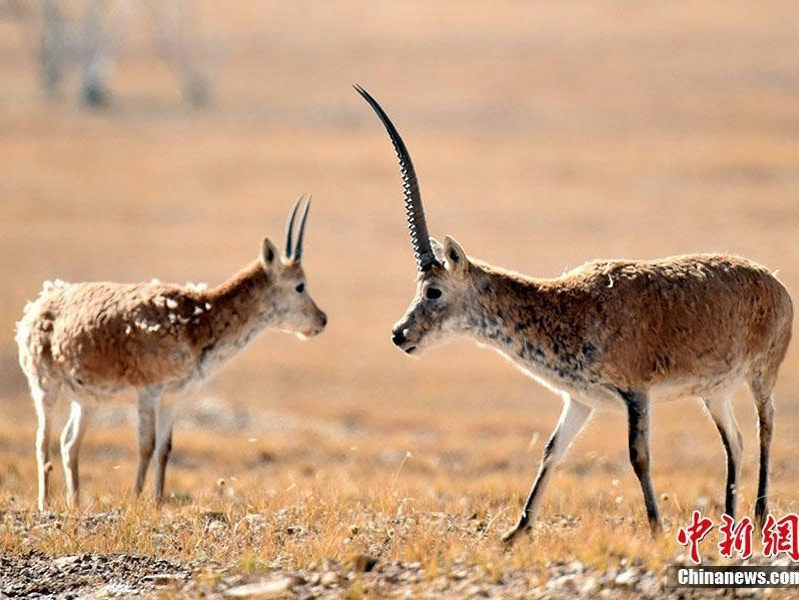 Tibetan antelope well protected in China
