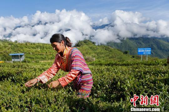 Spring tea harvested in Medog, Tibet