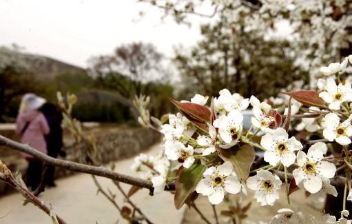Birnen blühen im Hehuang-Tal von Qinghai