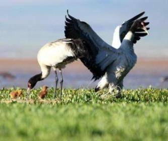 310 black-necked cranes migrate to Jiatang grassland in Qinghai