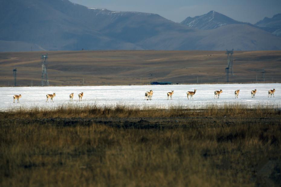 Rekordhoch der Przewalski-Gazellenpopulation am Qinghai-See