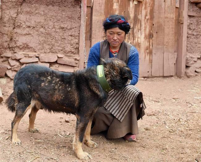 """Vorbeugung von Echinokokkose: Qamdo vergibt Haushunden kostenlos """"Personalausweis"""""""