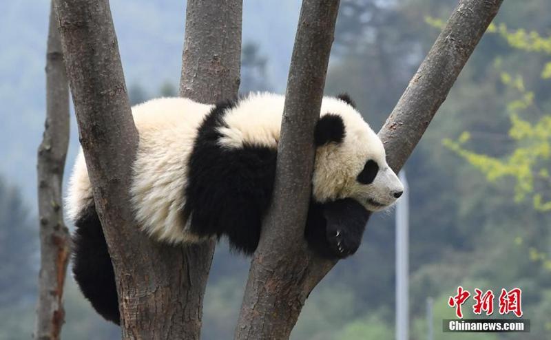 Niedliche Panda genießen die Sonne