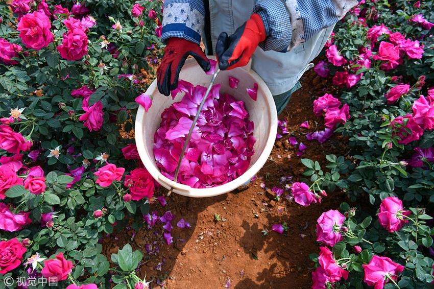 Schöne Rosen im Campus bewundern und essen