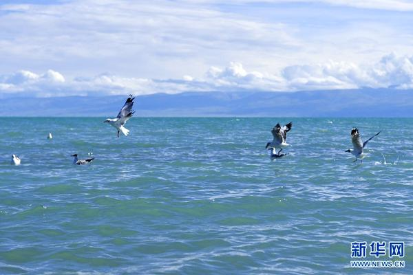 Live broadcast launched for Bird Island in Qinghai Lake