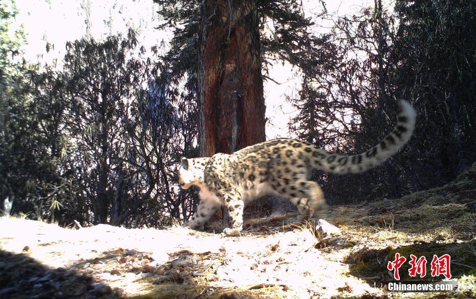 Images of snow leopards captured in eastern Tibet