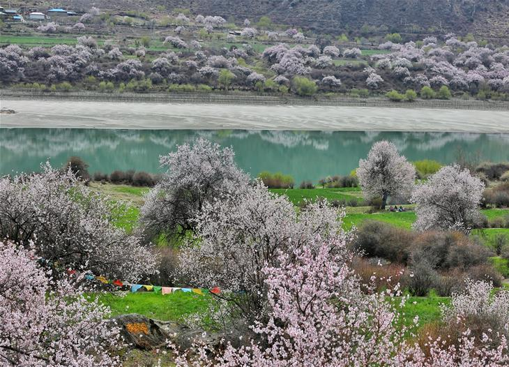 Flowers bloom along Nyang River in China's Tibet