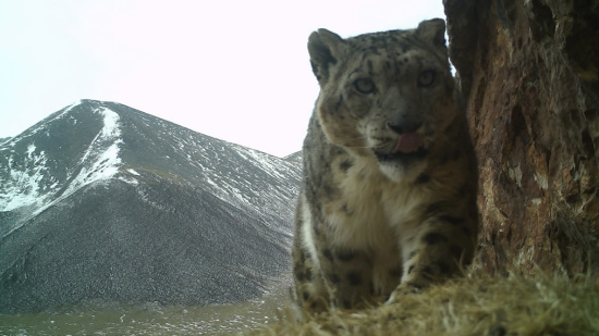 NGOs and Tibetans launch snow leopard investigations