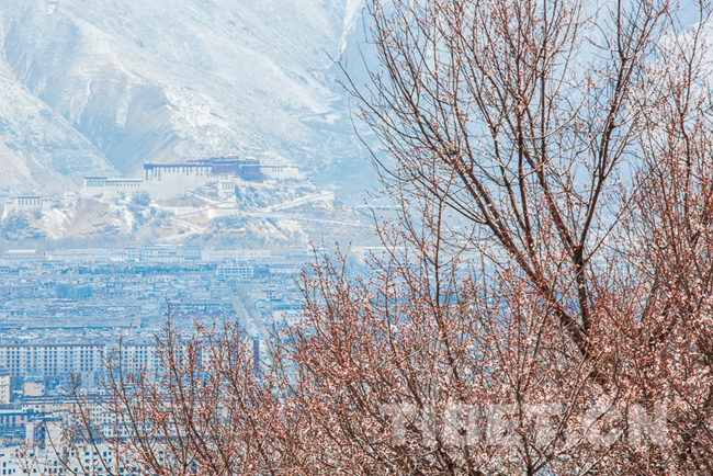 Scenery of snow-covered peach blossom in Lhasa