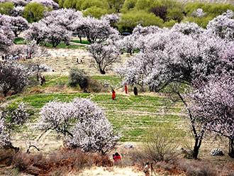 西藏林芝的桃花世界