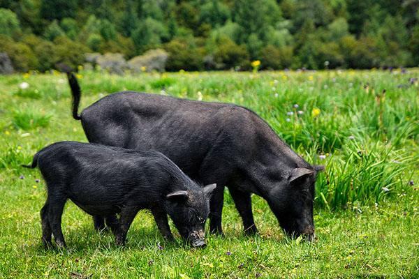 Der Wegführer zur Armutsbekämpfung mit Tibetschweinen