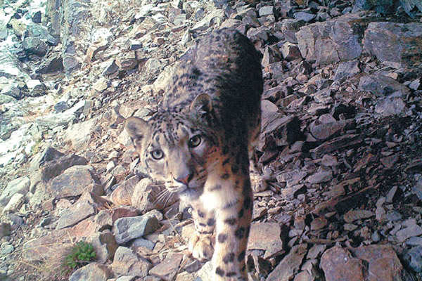 Over 1,000 snow leopards live in Sanjiangyuan area