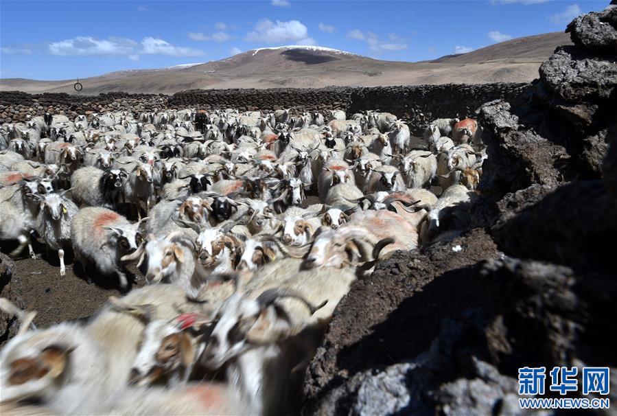 Tausendjährige Tradition in tibetischen Regionen – Kastration von Schafen