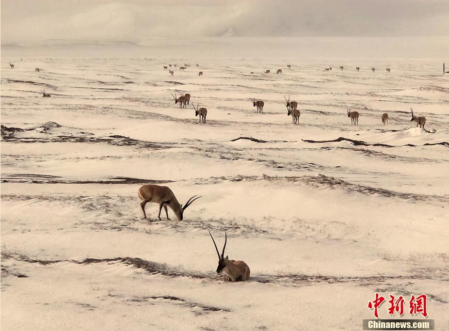 In Kekexili beginnt Geburts- und Migrationssaison von Tibet-Antilopen