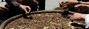 Qinghai: Beginn der Cordyceps-Erntesaison