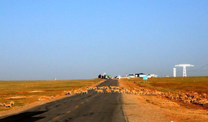 Tibetan antelope start annual migration to Hoh Xil