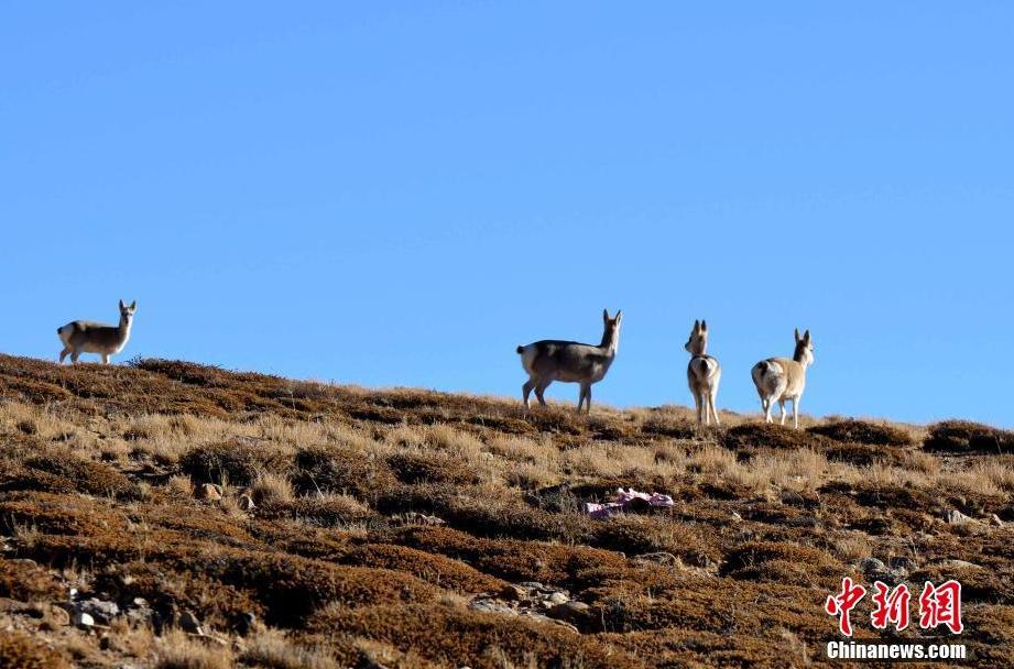 Ngari: Geschützte Tiere der Stufe 1 nehmen deutlich zu