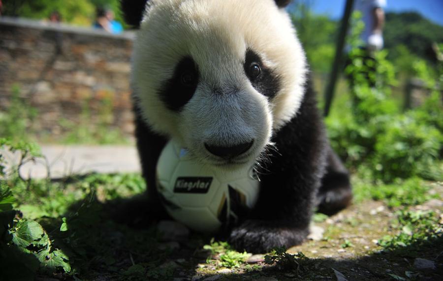Vor der WM spielen Pandas Fußball
