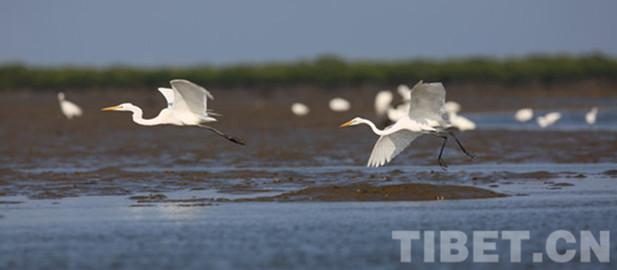 Mehr als 46.000 Sommer-Zugvögel am Qinghai-See