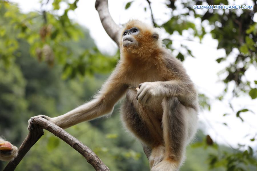 Zahl der Stumpfnasenaffen erleben Zuwachs in Gansu