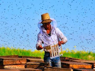 油菜花开引蜂来