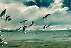 玛旁雍错 红嘴鸥自由飞翔