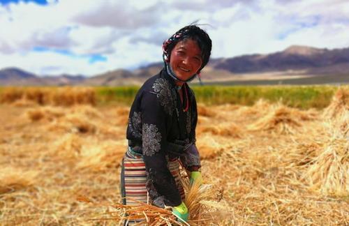 在希望的田野 西藏青稞又到丰收季