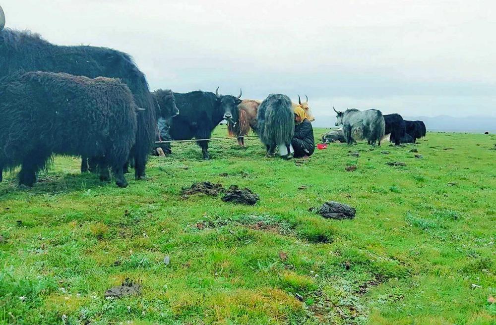 高原的生命与每一头牦牛的乳汁