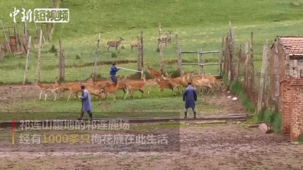探寻亚洲最大半野生鹿驯养基地