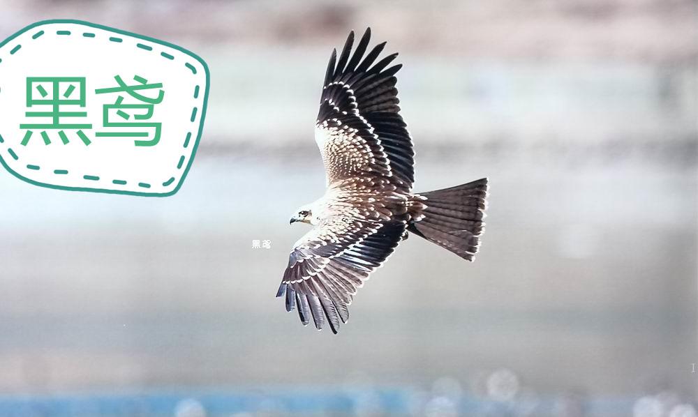 看!猛禽!能抓狼崽的那种!云南香格里拉普达措国家公园里涨知识