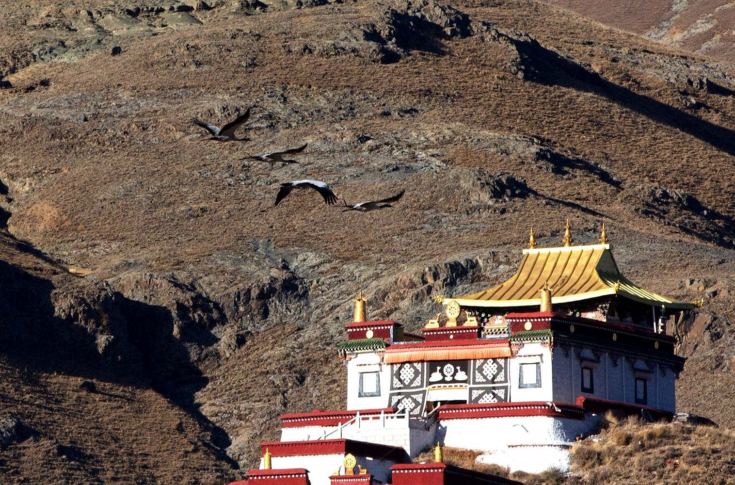 高原精灵拉萨河谷越冬