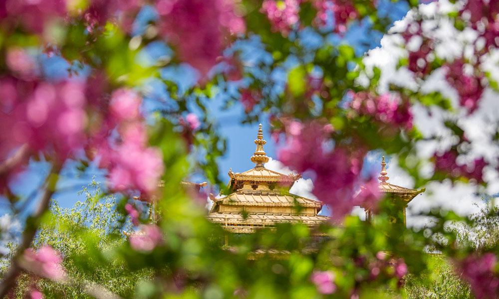 西藏扎囊:绿意盎然花似锦