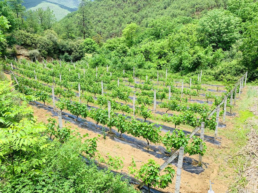 云南维西冰酒产业:美了乡村 富了百姓