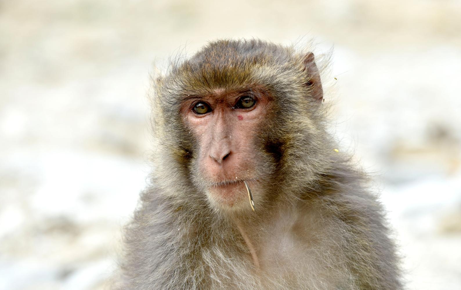 西藏雅鲁藏布江峡谷里的藏猕猴