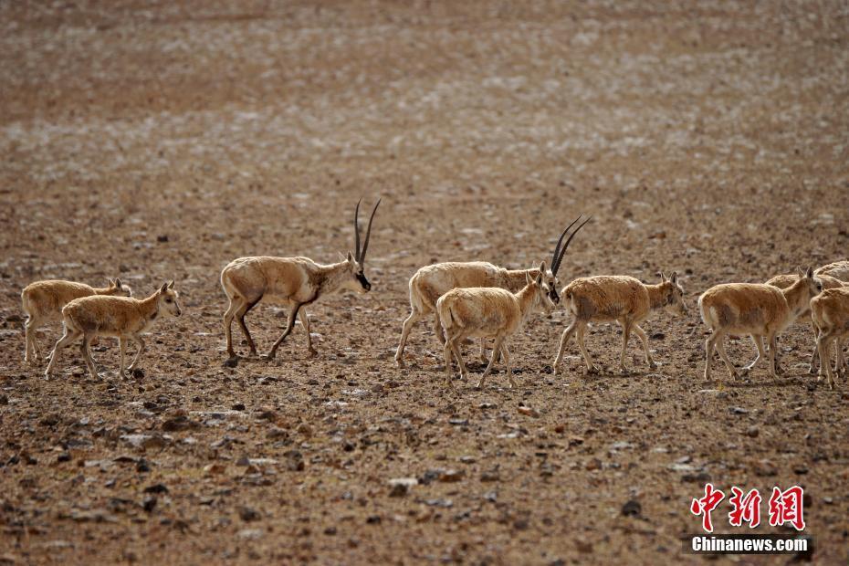 西藏改则现大量藏羚羊回迁,携幼崽返回原栖息地