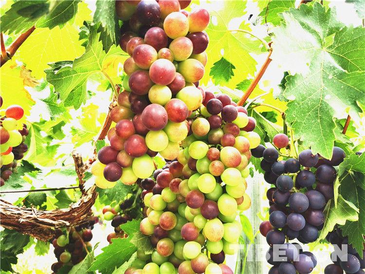 【藏影•藏色】米林农场各色水果令人垂涎