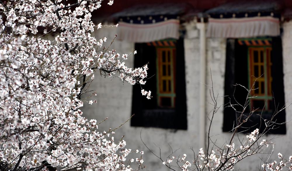 西藏拉萨:桃花踏粉而来