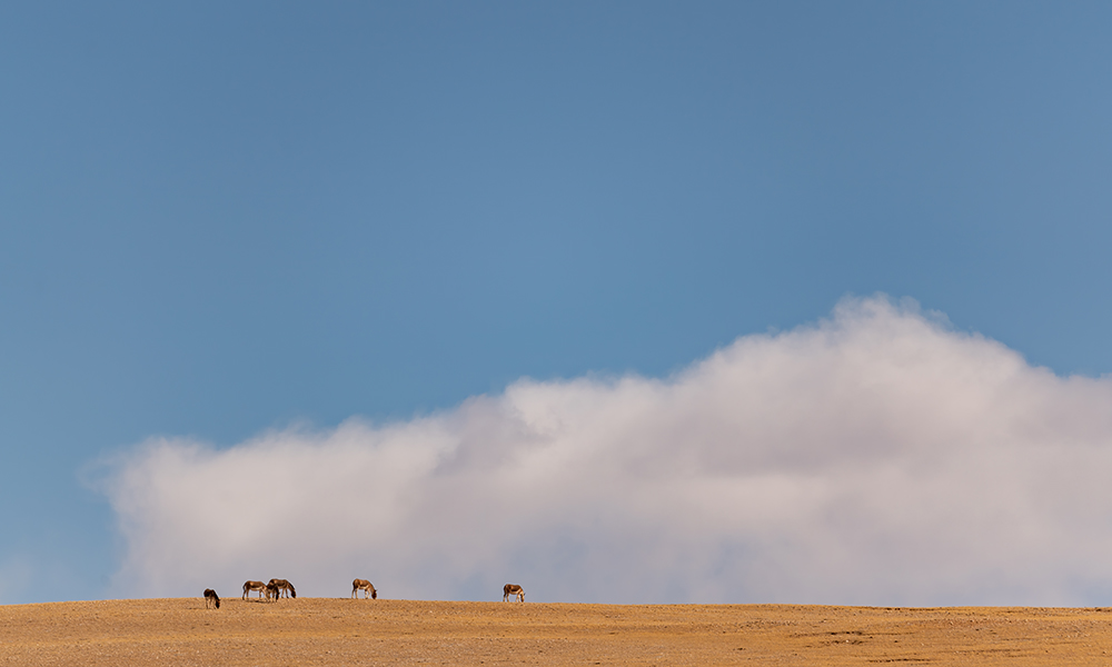 【行在云端】藏野驴:草原之上悠闲觅食