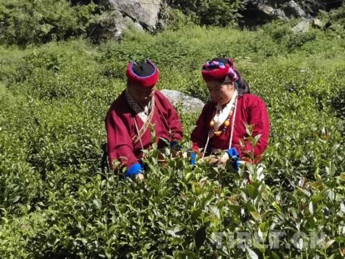 邊境小鎮的茶葉致富路