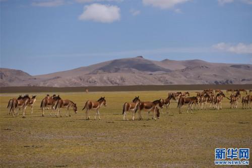 藏北生态之美(图)