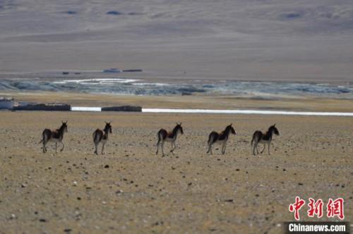 西藏羌塘草原見聞:偶遇野狼 藏羚羊、藏野驢等成群