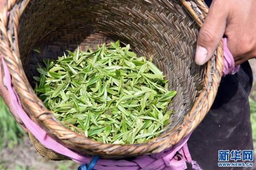 西藏察隅首批春茶開采
