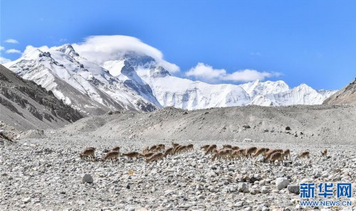 珠峰附近的雪域精靈