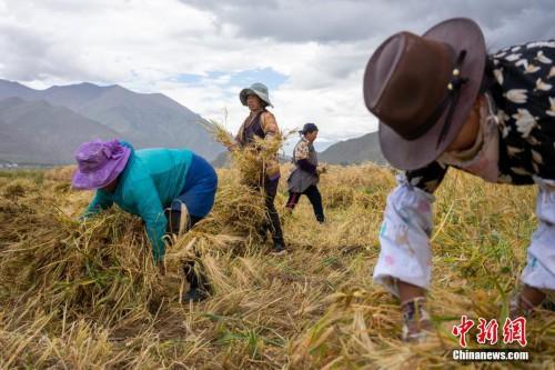 西藏青稞进入丰收季