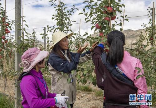 西藏山南:生态搬迁点迎来苹果丰收