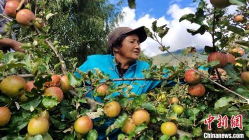 西藏農牧民不離鄉不離土 實現就業增收