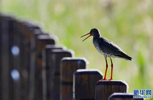 红脚鹬:拉鲁湿地舞翩跹