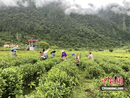 【石榴花开 籽籽同心】林芝市波密县易贡茶场:茶叶中的致富路